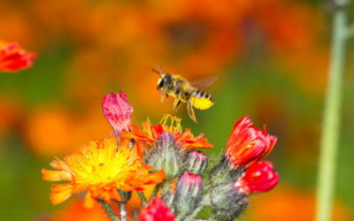 Mason Bees vs Leafcutter Bees
