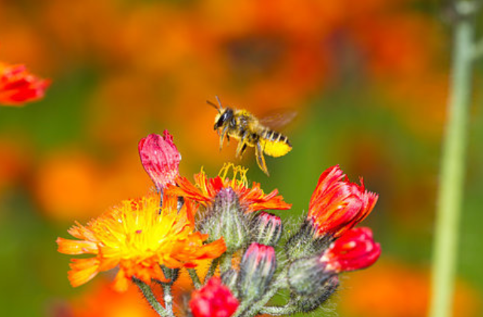 Adding Mason Bees to Your Garden? Take a Look at the Leafcutter Instead!