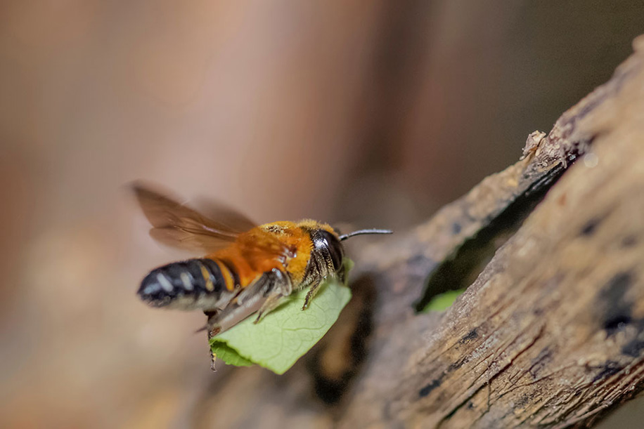 leaf cutter bees building a new cocoon